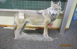 Aussteller eines Wolfes am Wolfsaktionstag